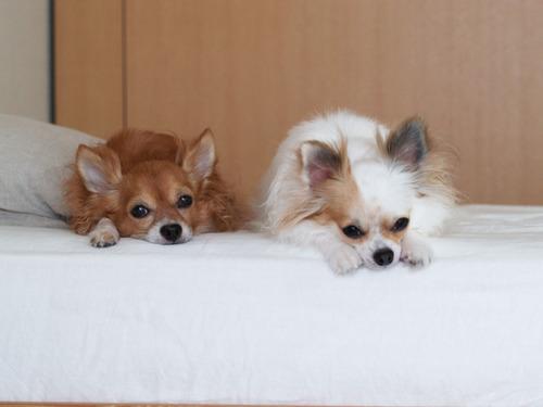 愛犬ベッド
