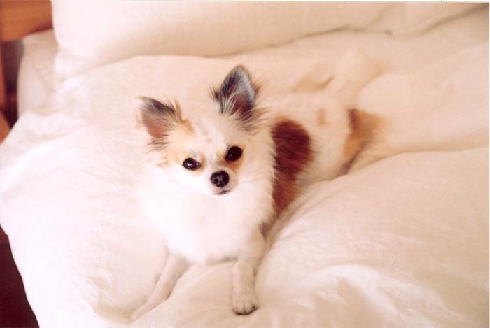 ベッドの上の愛犬
